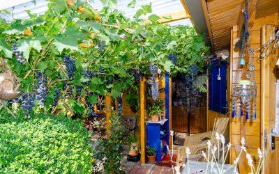 Selbst angebaute Weintrauben auf Campingplatz